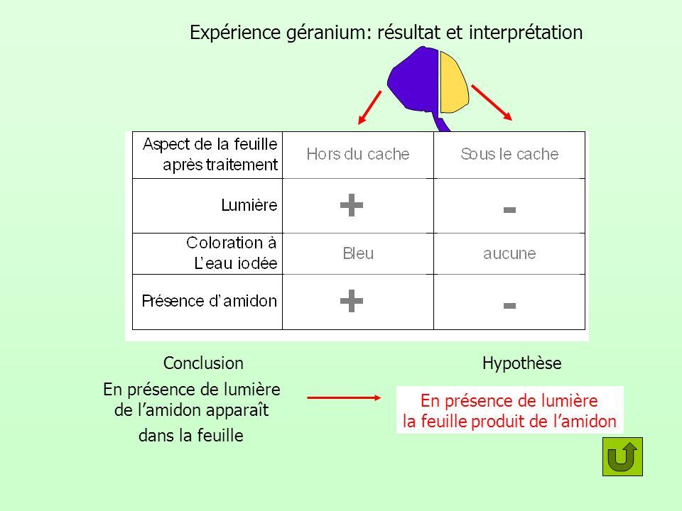 Expérience géranium: résultat et interprétation Conclusion En présence de lumière de lamidon apparaît dans la feuille En présence de lumière la feuill