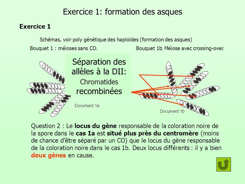 Formation des asques: Schémas dinterprétation GénotypePhénotype Bouquet 1aBouquet 1b Méiose sans C.OMéiose avec C.O Par exemple 2 locus (donc deux gènes) différents Gène 1 Gène 2