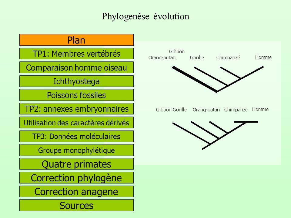 Phylogenèse évolution Correction phylogène Quatre primates Correction anagene Plan Chimpanzé Gorille Orang-outan Gibbon Homme Utilisation des caractèr