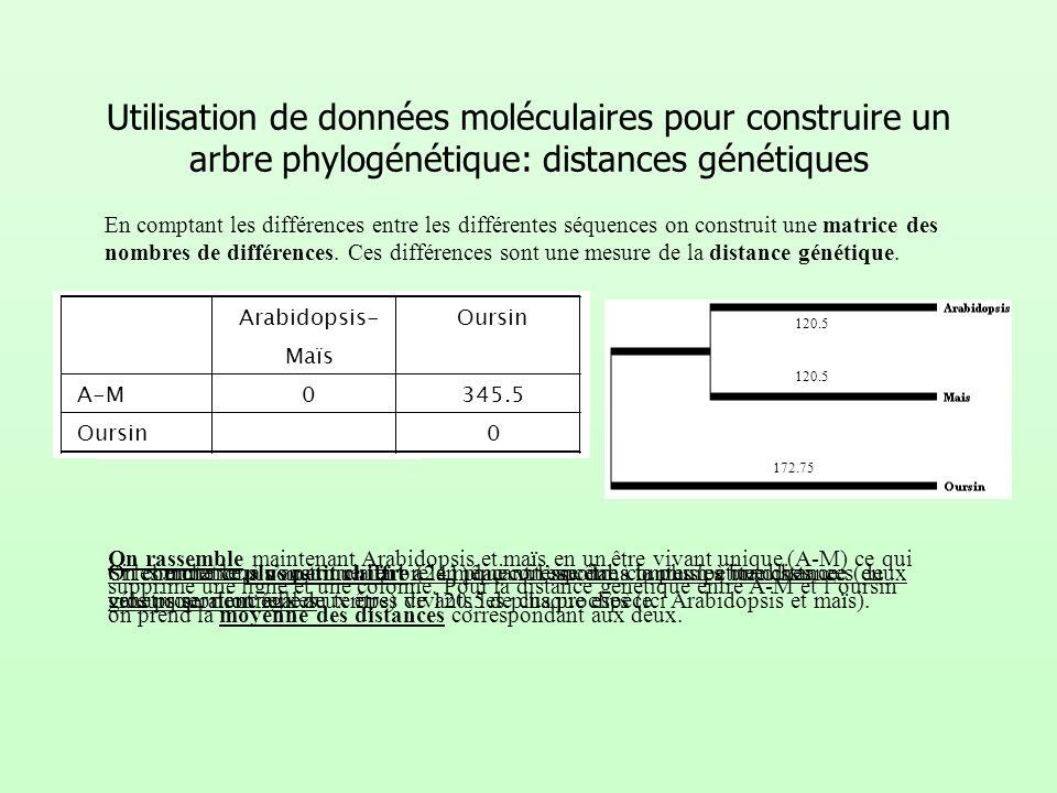Utilisation de données moléculaires pour construire un arbre phylogénétique: distances génétiques En comptant les différences entre les différentes sé