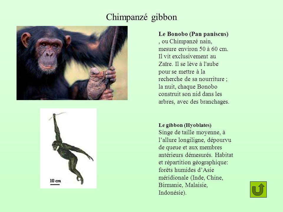 Le Bonobo (Pan paniscus), ou Chimpanzé nain, mesure environ 50 à 60 cm. Il vit exclusivement au Zaïre. Il se lève à l'aube pour se mettre à la recherc