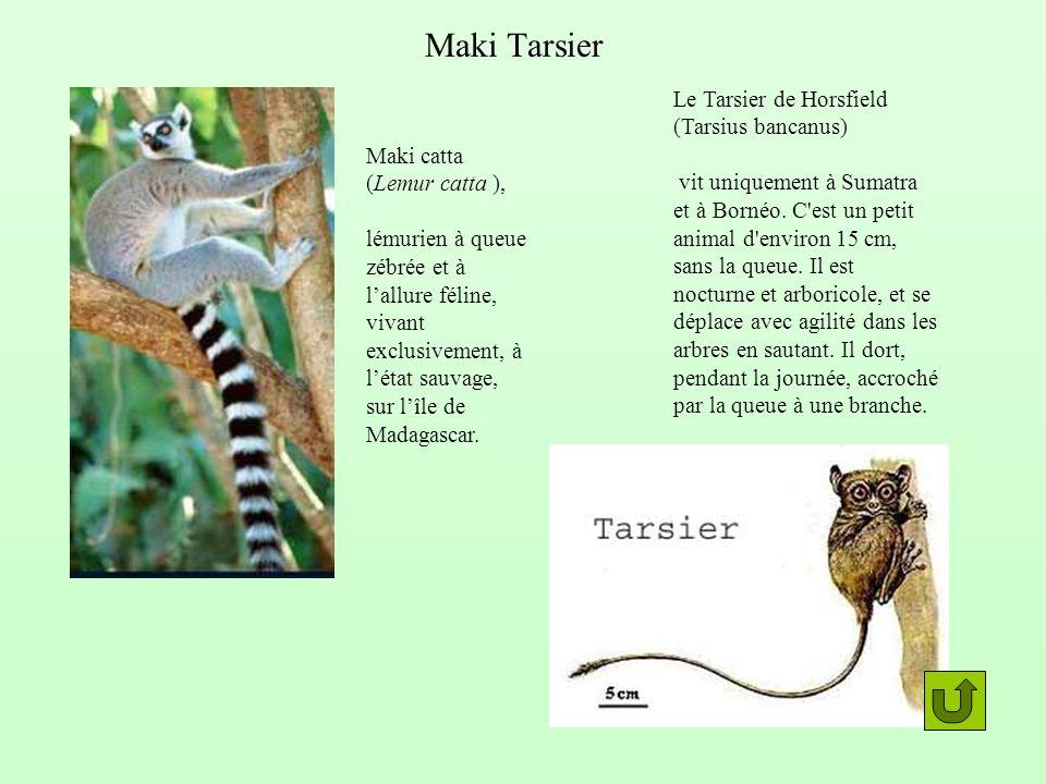 Maki catta (Lemur catta ), lémurien à queue zébrée et à lallure féline, vivant exclusivement, à létat sauvage, sur lîle de Madagascar. Le Tarsier de H