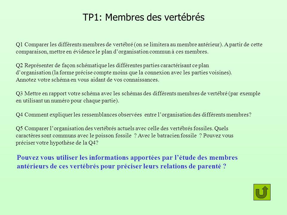 TP1: Membres des vertébrés Q1 Comparer les différents membres de vertébré (on se limitera au membre antérieur). A partir de cette comparaison, mettre