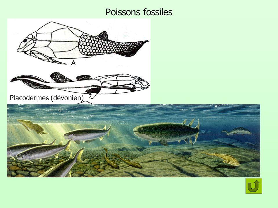 Groupe monophylétique Lamproie Requin Saumon Cœlacanthe DipneusteRat Poumons alvéolés Squelette interne monobasal Squelette osseux Mâchoire Vertèbre Le groupe des poissons est-il un groupe monophylétique .