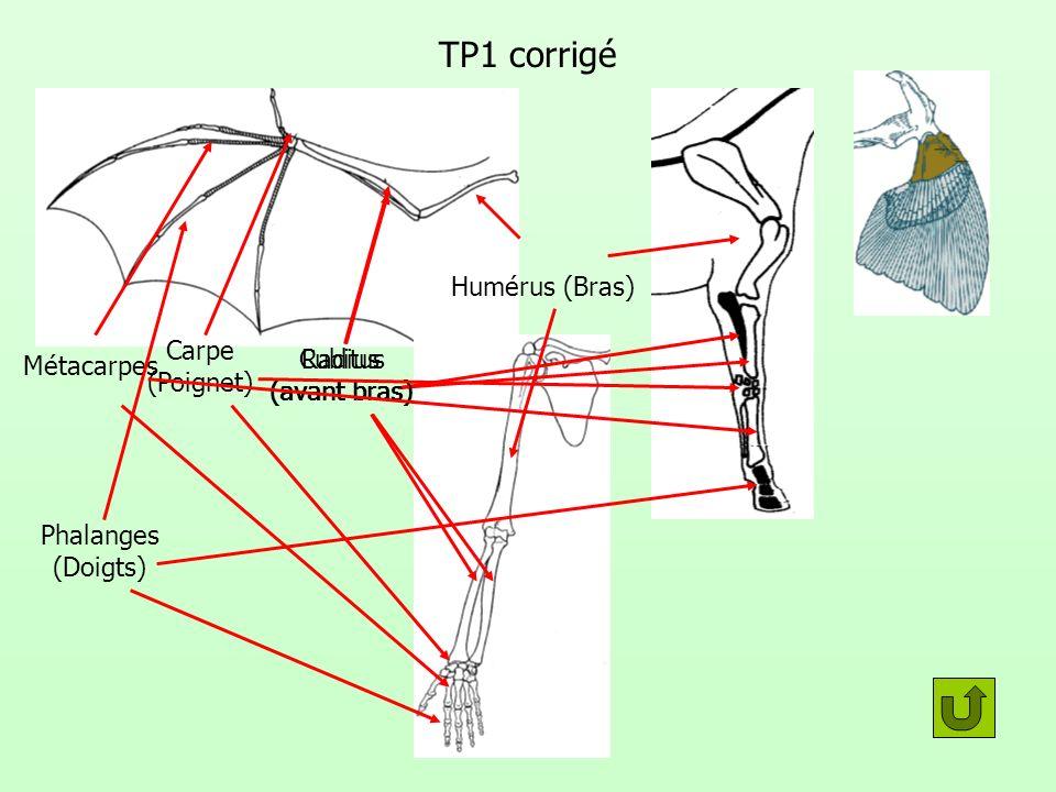 TP1 corrigé Humérus (Bras) Radius (avant bras) Cubitus (avant bras) Carpe (Poignet) Métacarpes Phalanges (Doigts)