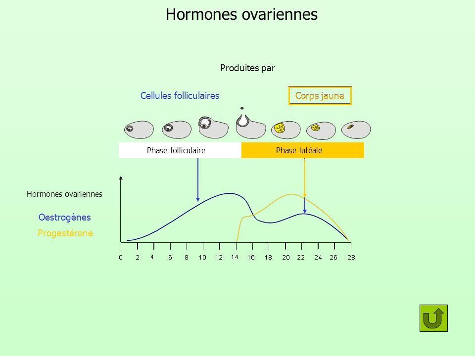 Hormones ovariennes Oestrogènes Progestérone Phase folliculairePhase lutéale Produites par Cellules folliculaires Corps jaune