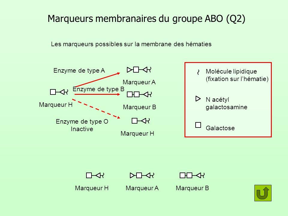 Marqueurs membranaires du groupe ABO (Q2) Marqueur HMarqueur AMarqueur B Les marqueurs possibles sur la membrane des hématies Marqueur H Marqueur A Ma