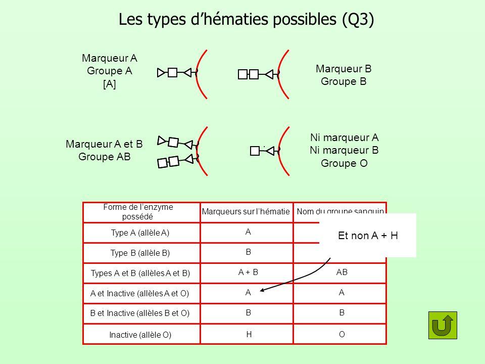 Forme de lenzyme possédé Marqueurs sur lhématie Nom du groupe sanguin Les types dhématies possibles (Q3) Marqueur A Groupe A [A] Marqueur B Groupe B M