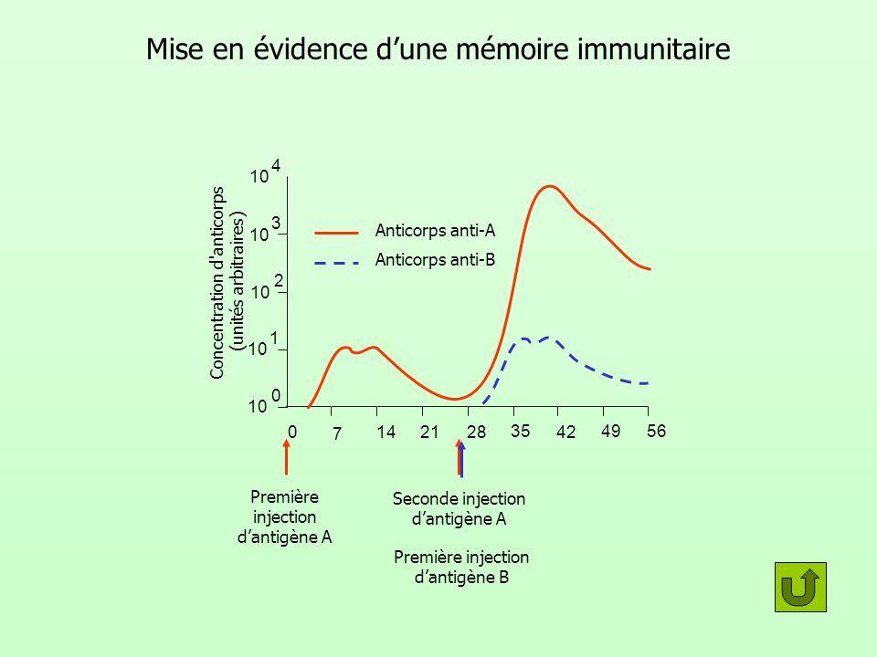 Mise en évidence dune mémoire immunitaire Concentration d'anticorps (unités arbitraires) 0 35 7 4214 49 21 56 28 10 0 1 2 3 4 Anticorps anti-A Anticor