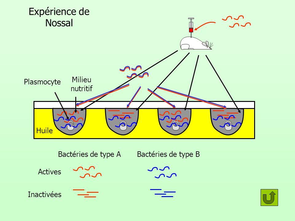 Expérience de Nossal Bactéries de type A Actives Inactivées Bactéries de type B Huile Plasmocyte Milieu nutritif