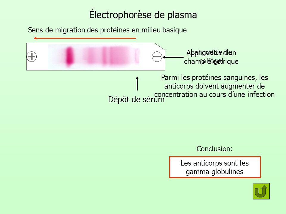 Électrophorèse de plasma Dépôt de sérum Application dun champ électrique Sens de migration des protéines en milieu basique Languette de cellogel Concl