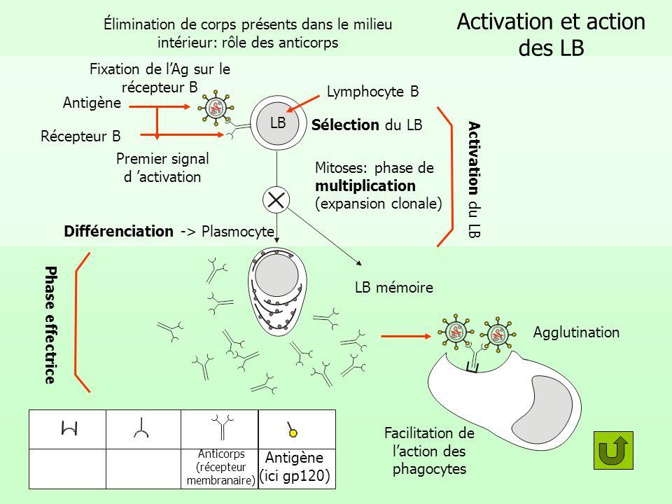 Activation et action des LB Élimination de corps présents dans le milieu intérieur: rôle des anticorps Fixation de lAg sur le récepteur B Premier sign