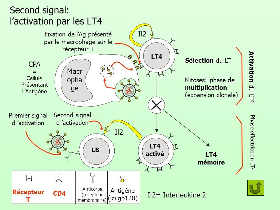 Second signal: lactivation par les LT4 LB LT4 activé LT4 mémoire Mitoses: phase de multiplication (expansion clonale) Activation du LT4 Sélection du L