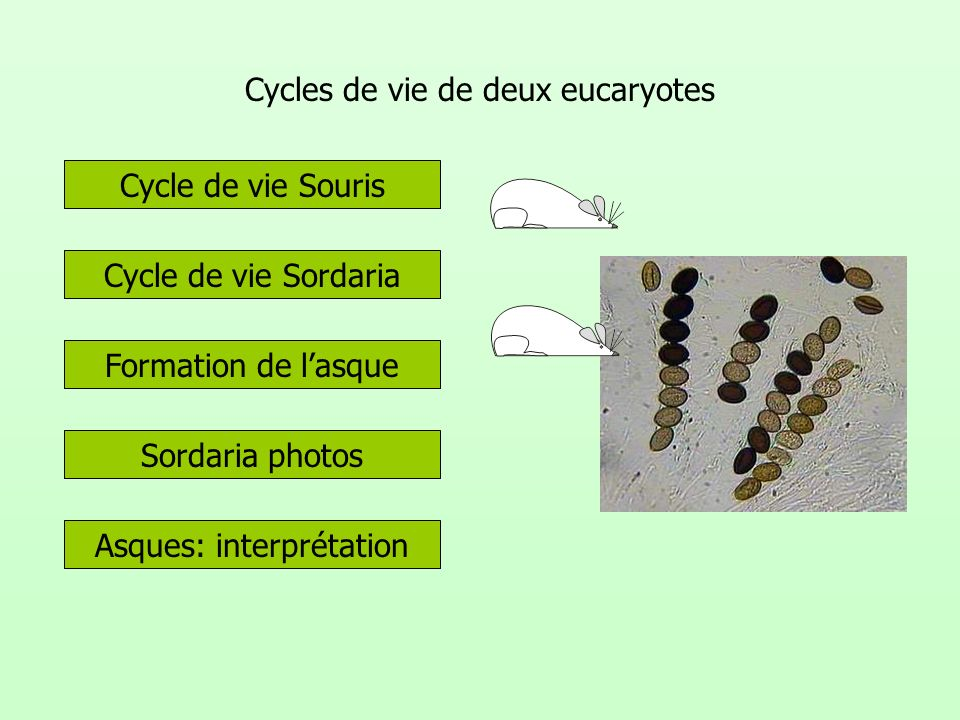 Cycles de vie de deux eucaryotes Formation de lasque Cycle de vie Sordaria Sordaria photos Cycle de vie Souris Asques: interprétation