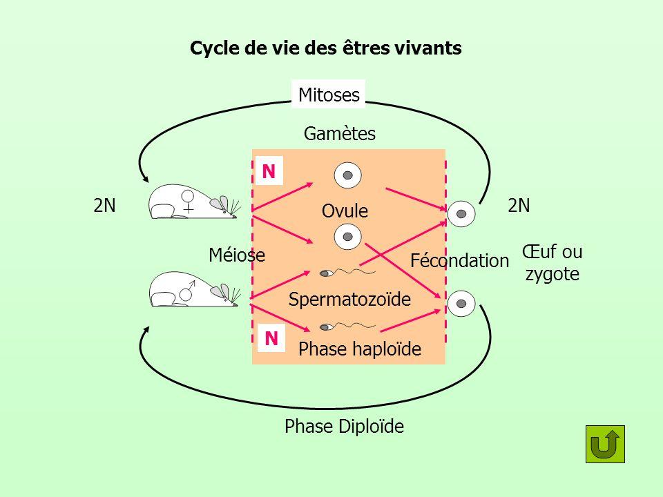 Cycle de vie des êtres vivants Méiose Fécondation Gamètes Ovule Spermatozoïde Phase haploïde Phase Diploïde 2N N Mitoses N Œuf ou zygote