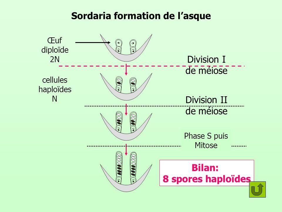 Cycle de vie de sordaria: récapitulation Mitoses Plasmogamie (fusion des cytoplasmes) Cellules à 2 noyaux Caryogamie Fusion des noyaux Fécondation Méiose Phase S puis Mitose Asques contenant huit spores 2N N+N N N N N