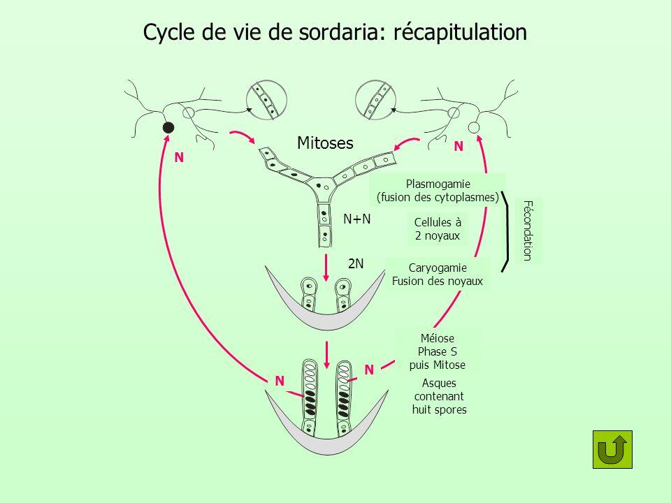Cycle de vie de sordaria: récapitulation Mitoses Plasmogamie (fusion des cytoplasmes) Cellules à 2 noyaux Caryogamie Fusion des noyaux Fécondation Méi