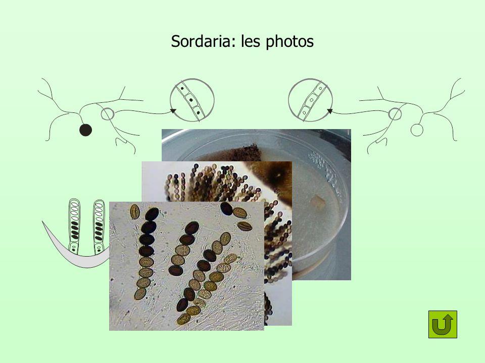 Interprétation de la disposition des spores dans lasque donc 3 divisions Pas toutes des mitoses Toutes les cellules filles ne sont pas identiques génétiquement Huit cellules= 2 3 DI DII MitoseMéiose