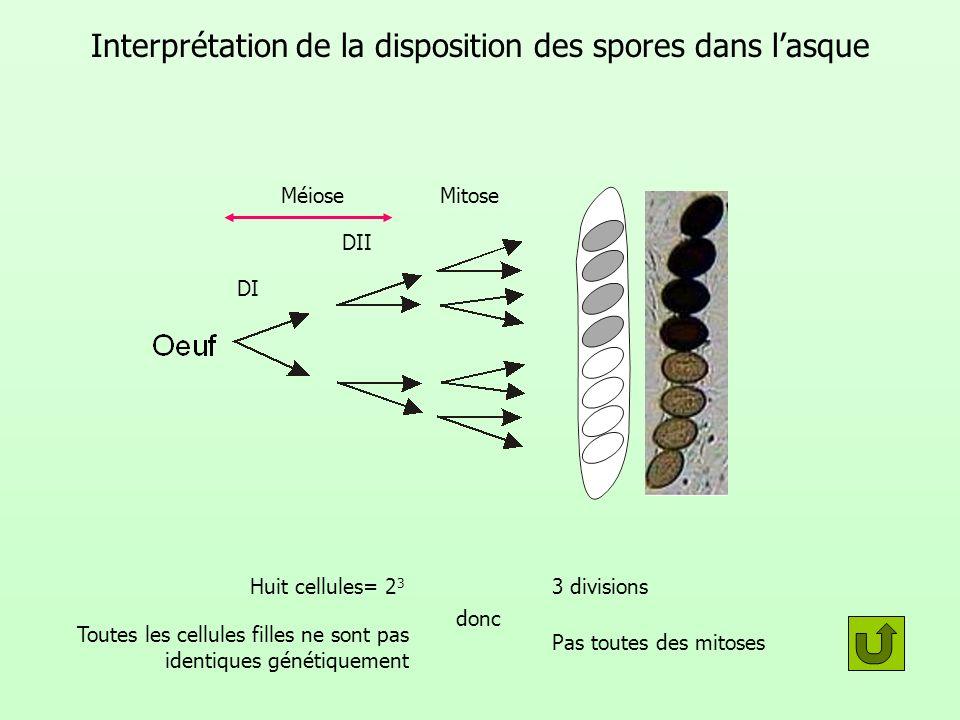 Interprétation de la disposition des spores dans lasque donc 3 divisions Pas toutes des mitoses Toutes les cellules filles ne sont pas identiques géné