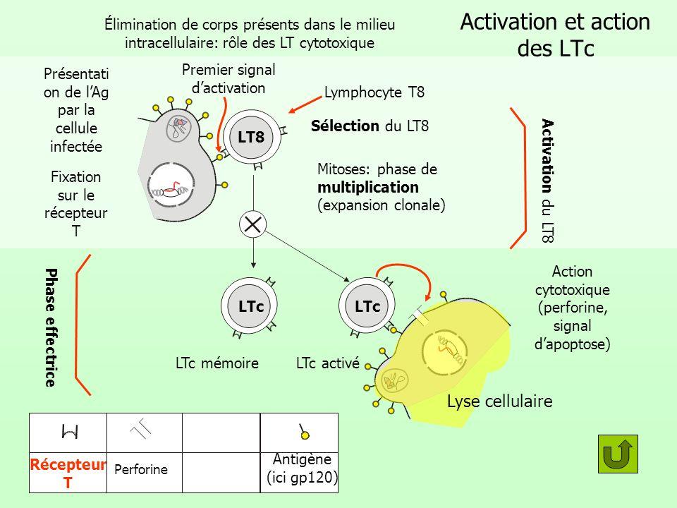 Second signal: lactivation par les LT4 LT4 activé LT4 mémoire Mitoses: phase de multiplication (expansion clonale) Activation du LT4 Sélection du LT Fixation de lAg présenté par le macrophage sur le récepteur T Antigène (ici gp120) Récepteur T CD4 Premier signal d activation Second signal d activation Il2 Il2= Interleukine 2 Phase effectrice du LT4 Macr opha ge LT8 CPA = Cellule Présentant l Antigène