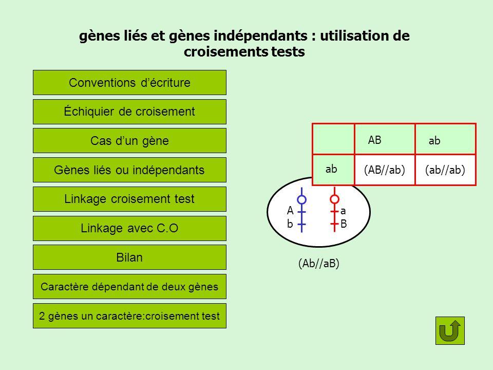 Les conventions décriture Le phénotype Le génotype Lignée pure= race pure= homozygote pour les gènes considérés Exemples, si lindividu de phénotype [A] appartient à une lignée pure, son génotype est forcément (A//A) Un croisement Les F1 sont des hybrides de première génération La double barre représente une paire de chromosomes homologues (donc un état diploïde) [A] (A//a) X P X P --> F1