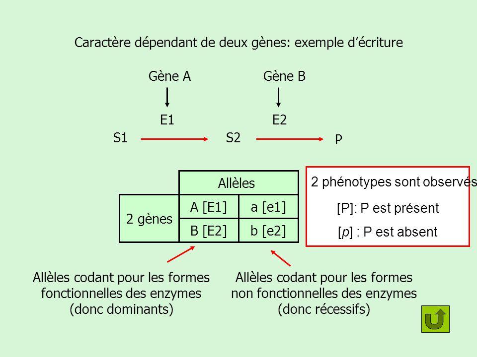 Caractère dépendant de deux gènes: Croisement test Soit les deux gènes sont liés, soit ils sont indépendants.
