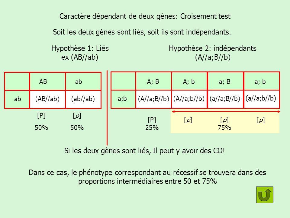 Caractère dépendant de deux gènes: Croisement test Soit les deux gènes sont liés, soit ils sont indépendants. Hypothèse 1: Liés ex (AB//ab) Hypothèse