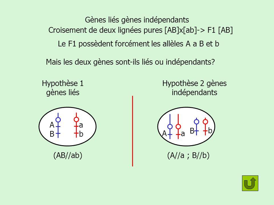 Gènes liés ou indépendants: réalisation dun croisement test Hypothèse 1: Liés ex (AB//ab) Hypothèse 2: indépendants (A//a;B//b) Croisement de deux lignées pures [AB]x[ab]-> F1 [AB] Les deux gènes A et B sont ils liés.