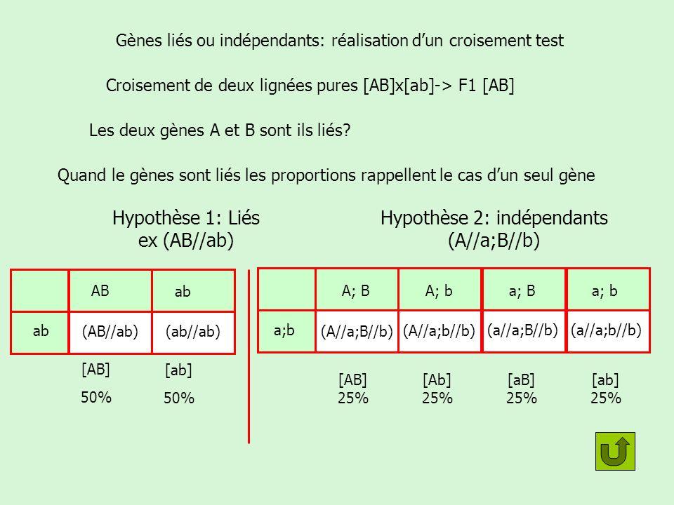 Cas de gènes liés avec crossing over Croisement de deux lignées pures [AB]x[ab]-> F1 [AB] On sait que les deux gènes sont liés ABAB abab (AB//ab) Les F1 sont forcément Que donne un croisement test F1[AB]x [ab].