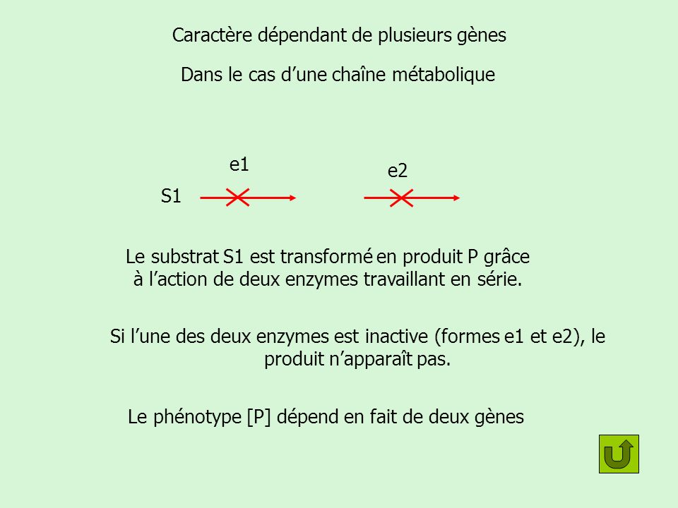 Caractère dépendant de deux gènes: exemple décriture S1S2 P E1E2 Allèles A [E1] B [E2] a [e1] b [e2] 2 gènes Allèles codant pour les formes fonctionnelles des enzymes (donc dominants) Allèles codant pour les formes non fonctionnelles des enzymes (donc récessifs) Gène AGène B 2 phénotypes sont observés [P]: P est présent [p] : P est absent