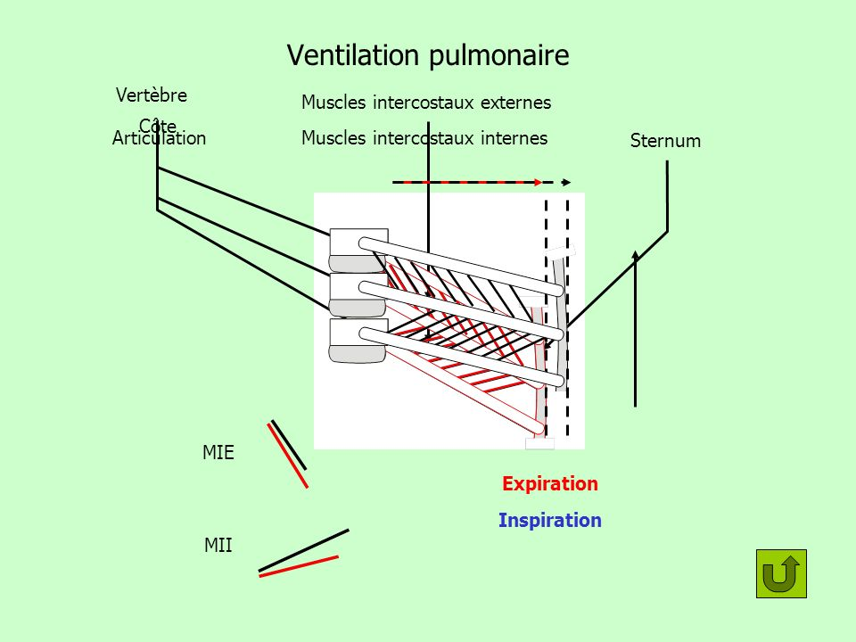 Ventilation pulmonaire Muscles intercostaux externes Muscles intercostaux internes Sternum Vertèbre Côte Articulation Expiration MII MIE Inspiration