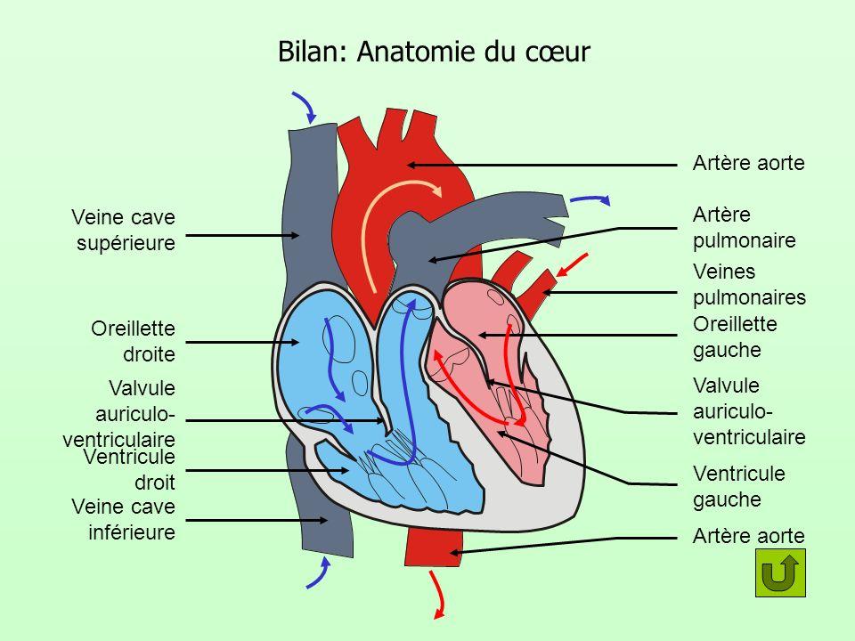 Bilan: Anatomie du cœur Veine cave supérieure Oreillette droite Valvule auriculo- ventriculaire Ventricule droit Veine cave inférieure Artère pulmonai