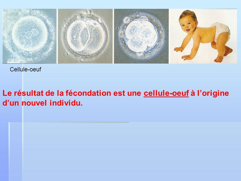 Le résultat de la fécondation est une cellule-oeuf à lorigine dun nouvel individu. Cellule-oeuf