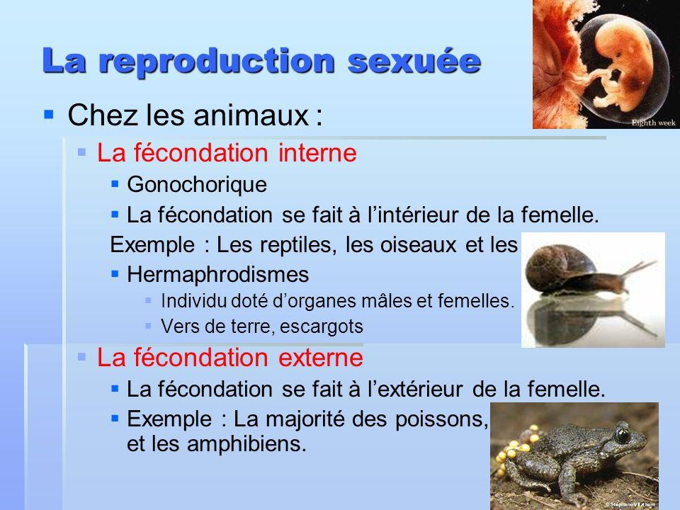La reproduction sexuée Chez les animaux : La fécondation interne Gonochorique La fécondation se fait à lintérieur de la femelle. Exemple : Les reptile