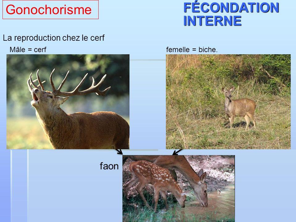 La reproduction chez le cerf Mâle = cerf femelle = biche. faonFÉCONDATIONINTERNE Gonochorisme