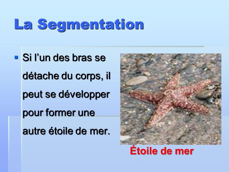 La Segmentation Si lun des bras se détache du corps, il peut se développer pour former une autre étoile de mer. Si lun des bras se détache du corps, i