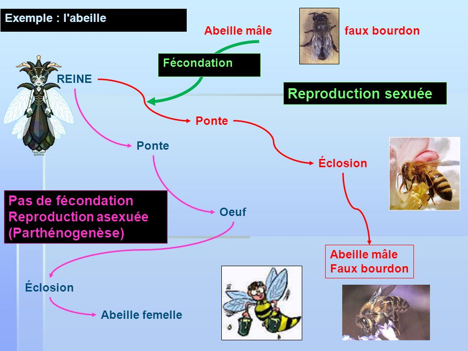 Ponte Oeuf Éclosion Abeille femelle Éclosion Abeille mâle Faux bourdon Pas de fécondation Reproduction asexuée (Parthénogenèse) Abeille mâlefaux bourdon Fécondation Ponte Reproduction sexuée Exemple : l abeille REINE