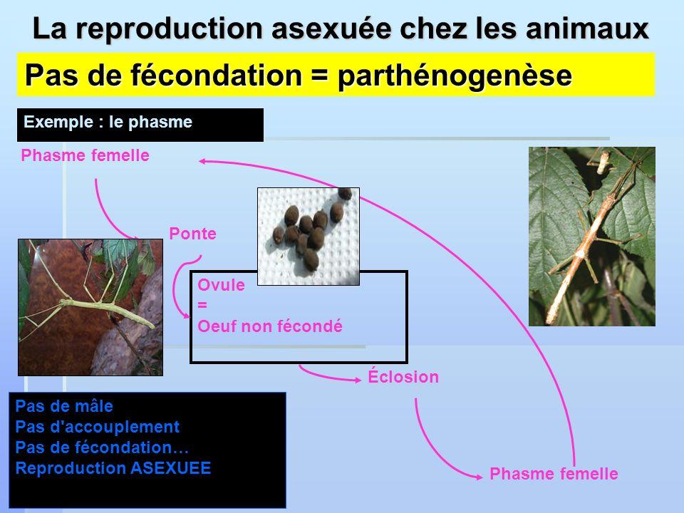 Pas de fécondation = parthénogenèse Exemple : le phasme Phasme femelle Ponte Ovule = Oeuf non fécondé Éclosion Phasme femelle Pas de mâle Pas d'accoup