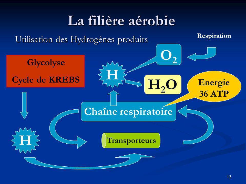13 La filière aérobie Utilisation des Hydrogènes produits Chaîne respiratoire Transporteurs Glycolyse Cycle de KREBS H Energie 36 ATP H O2O2 H2OH2O Re