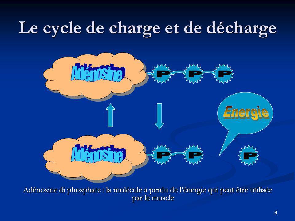 4 Le cycle de charge et de décharge Adénosine di phosphate : la molécule a perdu de lénergie qui peut être utilisée par le muscle