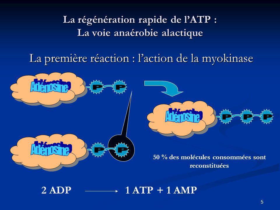 5 La régénération rapide de lATP : La voie anaérobie alactique La première réaction : laction de la myokinase 50 % des molécules consommées sont recon