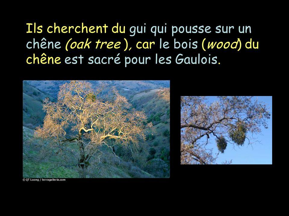 Ils cherchent du gui qui pousse sur un chêne (oak tree ), car le bois (wood) du chêne est sacré pour les Gaulois.