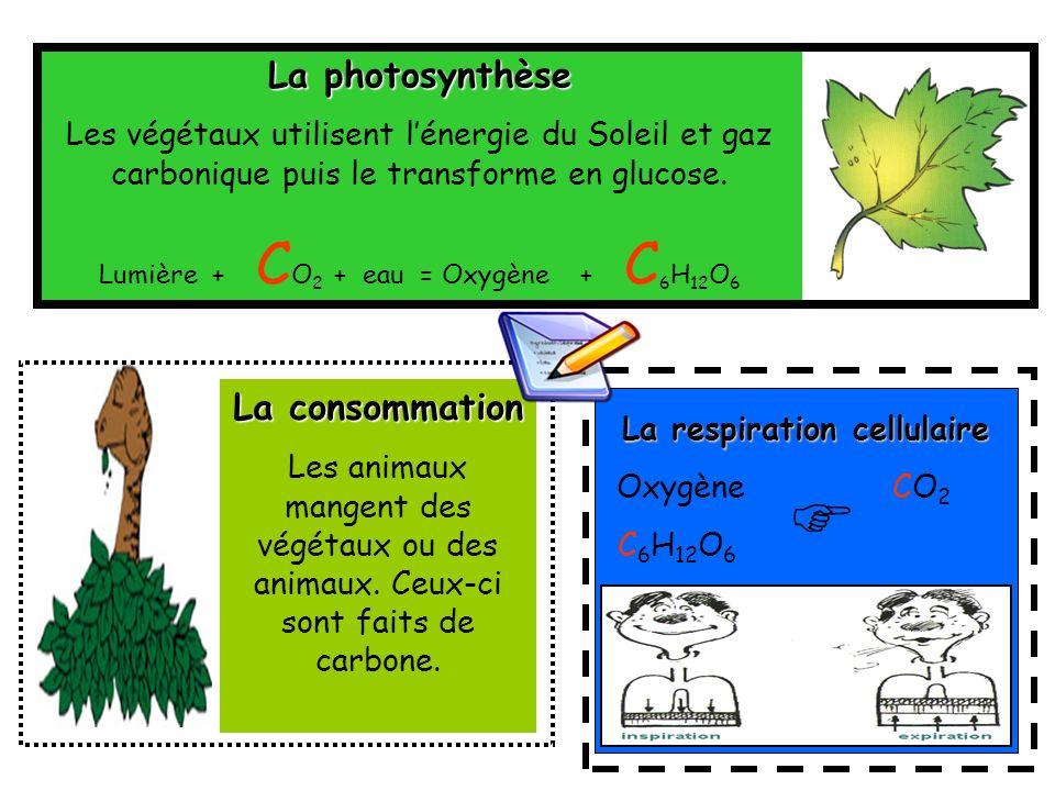La photosynthèse Les végétaux utilisent lénergie du Soleil et gaz carbonique puis le transforme en glucose. Lumière + C O 2 + eau = Oxygène + C 6 H 12