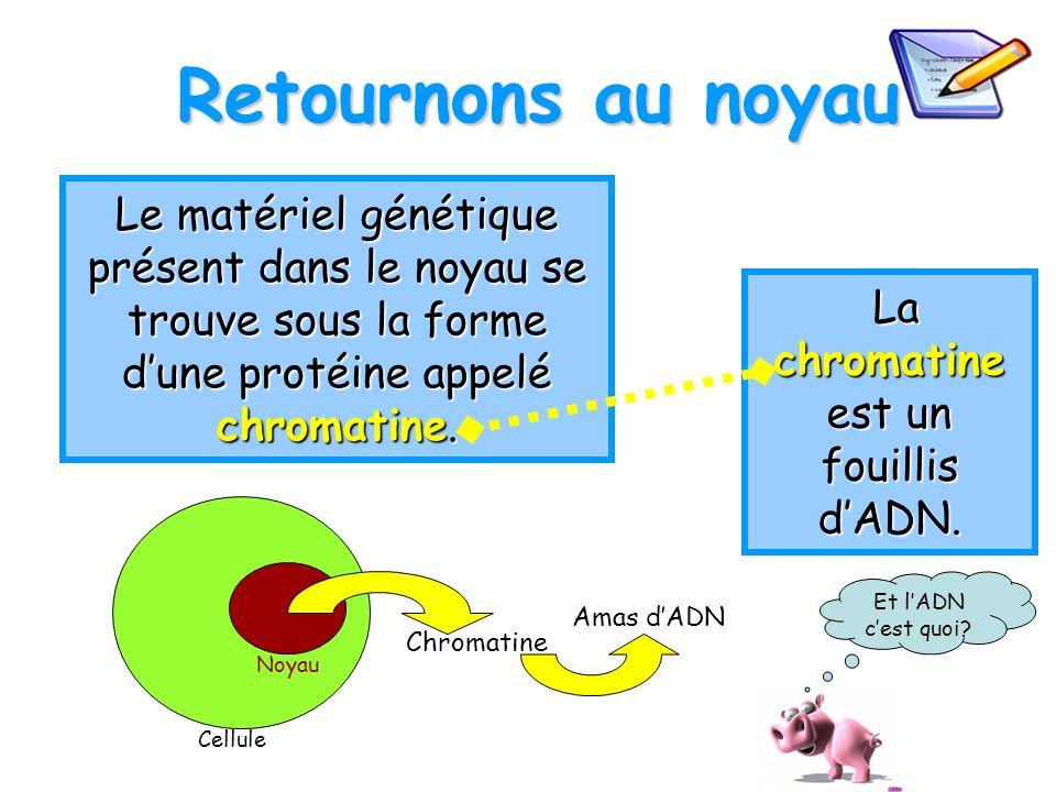 Retournons au noyau Le matériel génétique présent dans le noyau se trouve sous la forme dune protéine appelé chromatine. Cellule Noyau Chromatine Amas