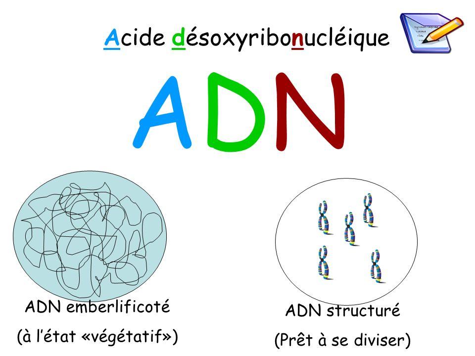 ADNADN Acide désoxyribonucléique ADN emberlificoté (à létat «végétatif») ADN structuré (Prêt à se diviser)