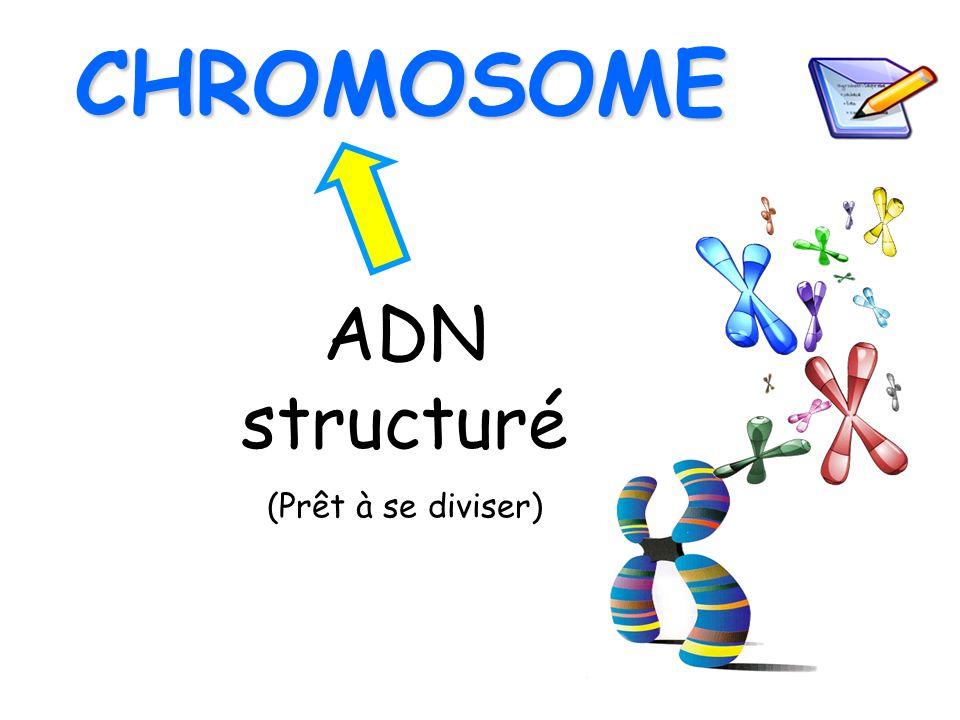 ADN structuré (Prêt à se diviser) CHROMOSOME