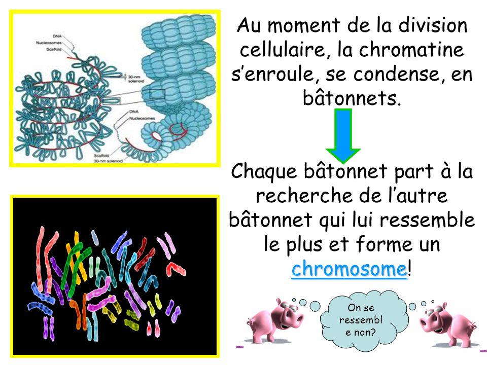 Au moment de la division cellulaire, la chromatine senroule, se condense, en bâtonnets. chromosome Chaque bâtonnet part à la recherche de lautre bâton