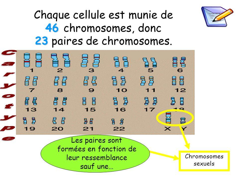 46 23 Chaque cellule est munie de 46 chromosomes, donc 23 paires de chromosomes. Chromosomes sexuels Les paires sont formées en fonction de leur resse
