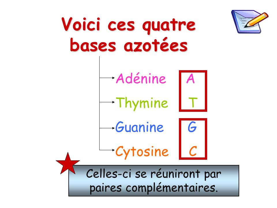 Voici ces quatre bases azotées Adénine A Thymine T Guanine G Cytosine C Celles-ci se réuniront par paires complémentaires.