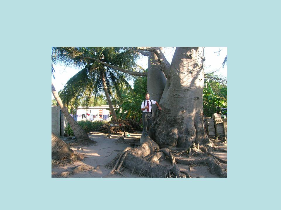 Quest-ce que cest le plus Important baobab des Etats-Unis.